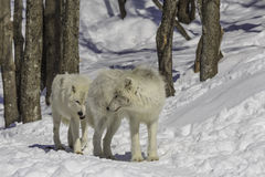 Arctic Wolves Royalty Free Stock Photo