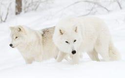 Arctic wolves. Walking through the winter snow Stock Photos