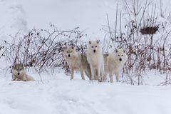 Arctic Wolves in a winter scene Stock Photography