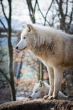 Arctic wolves... Stock Images