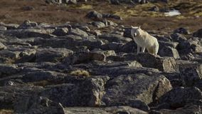 Arctic wolves, the wolf runs at the herd, trying to flush out the weak or the slow. North Canada stock image