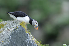 arctica大西洋fratercula海鹦 免版税图库摄影