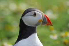 Arctica atlântico do fratercula do papagaio-do-mar imagens de stock