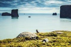 Arctica de Fratercula - oiseaux de mer de l'ordre du Charadriiformes Images libres de droits