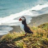 Arctica de Fratercula - oiseaux de mer de l'ordre du Charadriiformes Images stock