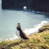 Arctica de Fratercula - oiseaux de mer de l'ordre du Charadriiformes Photographie stock