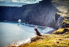 Arctica de Fratercula - oiseaux de mer de l'ordre du Charadriiformes Photos libres de droits