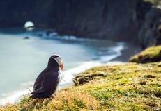 Arctica de Fratercula - oiseaux de mer de l'ordre du Charadriiformes Photo stock
