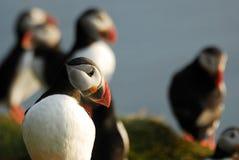 Arctica del Fratercula de los frailecillos atlánticos en Raudinupur, Islandia imagen de archivo libre de regalías
