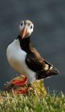 Arctica del Fratercula della pulcinella di mare in Raudinupur, Islanda Immagini Stock Libere da Diritti