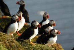 Arctica del Fratercula delle pulcinella di mare in Raudinupur, Islanda Fotografia Stock Libera da Diritti