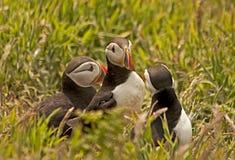 Arctica del fratercula di tre puffini Fotografia Stock Libera da Diritti