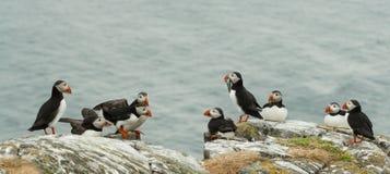 arctica fratercula海鹦岩石 库存图片
