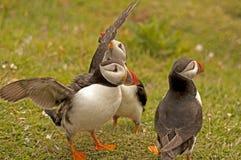 Arctica fratercula 2 εσενών puffins Στοκ φωτογραφίες με δικαίωμα ελεύθερης χρήσης