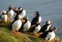Arctica Fratercula атлантических тупиков в Raudinupur, Исландии Стоковые Фотографии RF