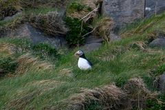 Arctica Fratercula, тупик Исландии Стоковые Изображения