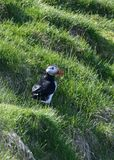 Arctica Fratercula, Puffin της Ισλανδίας Στοκ φωτογραφία με δικαίωμα ελεύθερης χρήσης