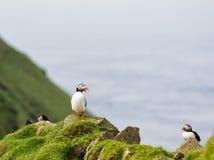 Arctica Fratercula puffins Στοκ Εικόνες