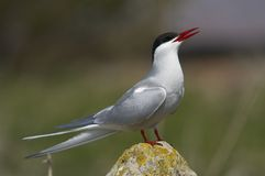 Arctictern27. Arctic Tern, Sterna paradisaea, on rock, Farne Islands, early May, UK Stock Images