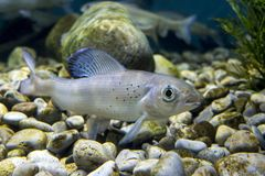 Arcticus pallasi Thymallus Grayling - καταπληκτικά αθλητικά ψάρια Στοκ φωτογραφία με δικαίωμα ελεύθερης χρήσης