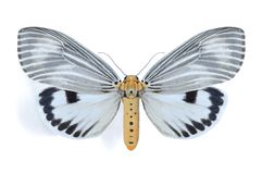 Arctiidae Stock Afbeeldingen