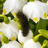 Arctiidae caterpillar crawling on a snowdrop in the garden Royalty Free Stock Images