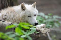 Arctik wolf. Arctic Wolf (Canis lupus arctos) aka Polar Wolf Royalty Free Stock Photos