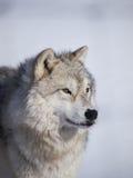 Arctique d'alpha mâle images stock