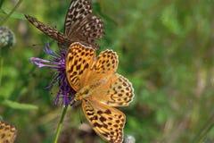 Butterflies on flowers of burdock beautiful summer background royalty free stock photos
