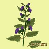 Arctium, burdock. Illustration of a plant in a vector with flowe. R for use in the cooking of medicinal herbal tea Royalty Free Stock Image