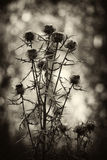 Arctium burdock lappa bur dry noodle the web at the dawn of spring Royalty Free Stock Images