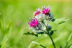 Arctium flowers in the field Royalty Free Stock Images