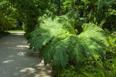 Arctium Lappa in Botanic Garden Stock Photo