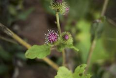 Arctium lappa branch with inflorescence stock image