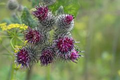 Arctium lappa, burdock during flowering. A large herbaceous royalty free stock images