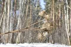 Arctium lappa, commonly called greater burdock, edible burdock, lappa, beggar`s buttons, thorny burr, or happy major is a Eurasian. Species of plants in the Royalty Free Stock Photos