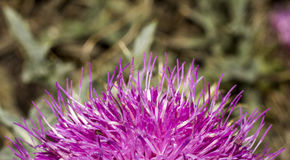 Arctium lappa  flower pinky Stock Images
