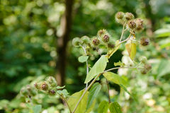 Arctium Lappa With Fruit Royalty Free Stock Photography