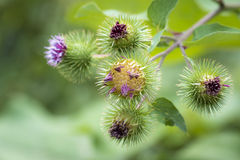 Arctium lappa or greater burdock flower. Arctium lappa or greater burdock in bloom in summer, the flowers of this plant are purple and grouped in globular Stock Photo