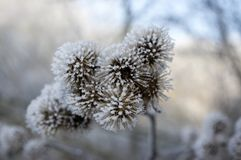 Arctium lappa covered with rime, frosty winter day stock photos