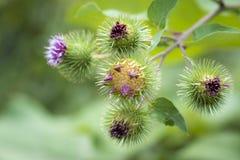 Arctium lappa lub wielkiego łopianu kwiat Zdjęcie Stock