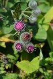 Arctium lappa Menchia kwiaty prickles łopian Medyczna ziołowa roślina zdjęcia royalty free