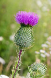 Arctium lappa Royalty Free Stock Photo