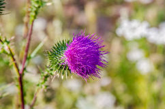 Arctium lappa Royalty Free Stock Photos