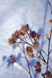 Arctium lappa wielki łopian, gobo, jadalny łopian, lappa, żebraków guziki, cierniowaty burr, szczęśliwy ważny suszy kwiaty fotografia stock