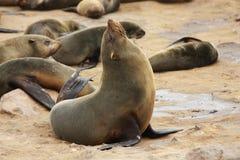 arctocephalus foka futerkowa pusillus foka Zdjęcie Stock