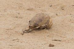 海角海狗头骨(Arctocephalus pusillus) 库存照片