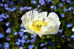 Arctomecon merriamii, white poppy in the garden. White poppy in garden, between the blue forget-me-not flowers. A poppy is a flowering plant, most species are Stock Images