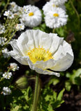 Arctomecon merriamii, white poppy in the garden. A poppy is a flowering plant, most species are attractive ornamental plants. Poppy seeds are rich in oil Stock Images