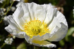 Arctomecon merriamii, white poppy macro Stock Photography
